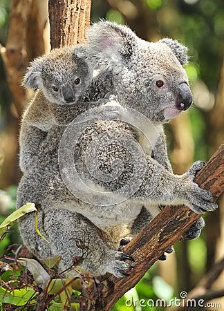 Free Australian Koala Bear Carrying Cute Baby Stock Photo - 24313120