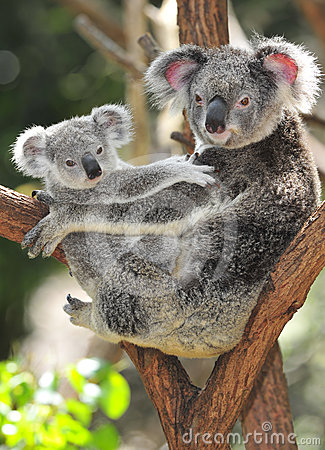 Free Australian Koala Bear Carrying Cute Baby Australia Stock Photos - 24313173
