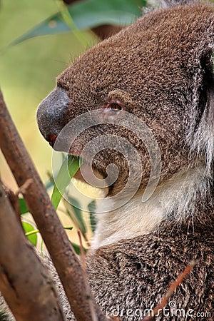 Australian Koala Up A Tree