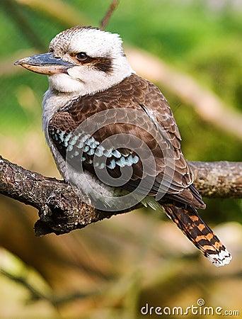 Free Australian Kookaboora Stock Image - 2351171