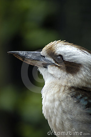 Free Australian Kookaburra Royalty Free Stock Photography - 290777