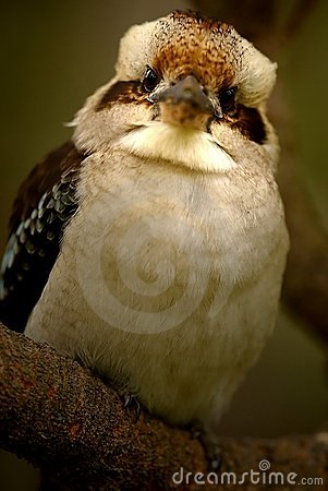 Free Australian Kookaburra Royalty Free Stock Image - 7179236