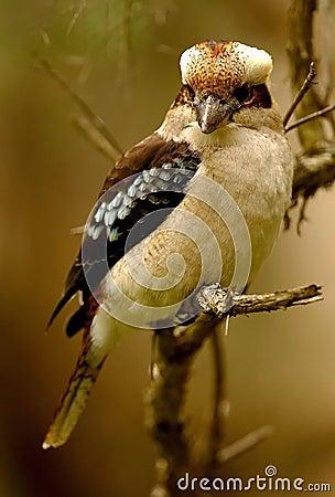 Free Australian Kookaburra Royalty Free Stock Image - 7179246