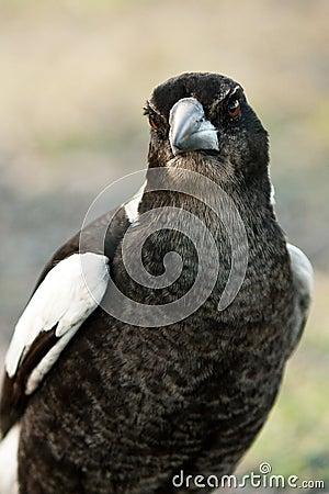 Australian Magpie staring straight ahead.