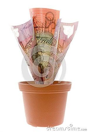 Australian money plant