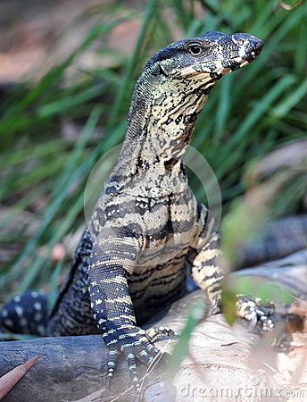 Australian monitor or goanna,queensland,australia