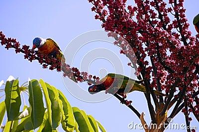 Australian Native fauna, Rosella Rainbow Lorikeet Parrot birds