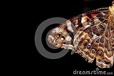 Australian Painted Lady Butterfly Wing