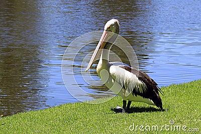 Australian Pelican - Pelecanus Conspicillatus