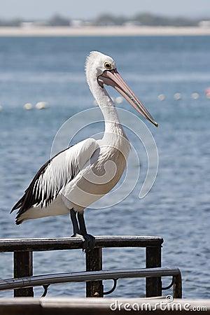 Free Australian Pelican (Pelecanus Conspicillatus) Stock Photography - 17799062