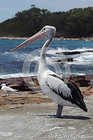 Free Australian Pelican (Pelecanus Conspicillatus) Royalty Free Stock Image - 56572096