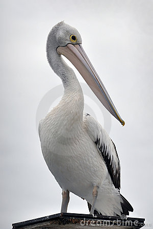 Free Australian Pelican Portrait Royalty Free Stock Photography - 14540747
