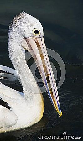 Australian Pelican portrait Editorial Image