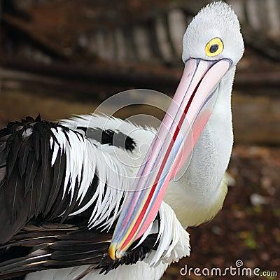 Australian pelican close-up