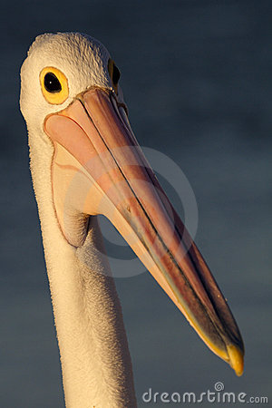 Australian pelican in soft late afternoon light