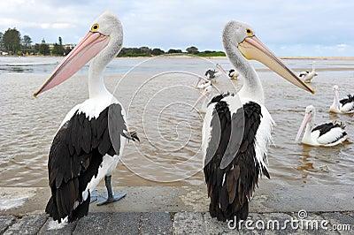 Australian pelican, white bird, australia