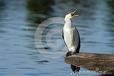 Australian Pied Cormorant with open bill