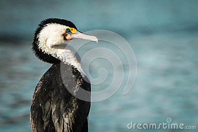Australian Pied Cormorant in sunlight