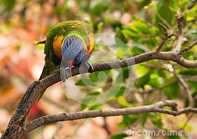 Australian rainbow lorikeet on the branch