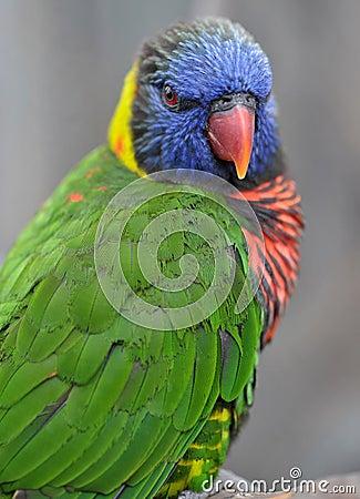 Australian rainbow lorikeet,queensland, australia