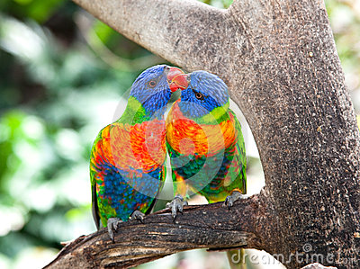 Australian rainbow lorikeets, queensland.