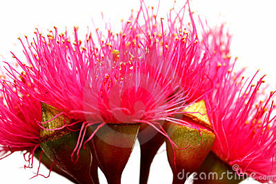 Australian Red Ironbark Flowers
