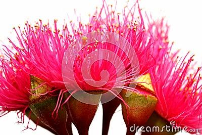 Australian Red Ironbark Flowers