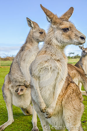 Free Australian Red Kangaroos With Joey In Pouch Royalty Free Stock Image - 65770296