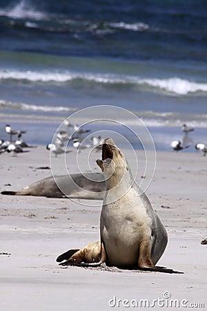 Free Australian Sea Lion (Neophoca Cinerea) Royalty Free Stock Photos - 13172458