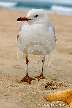 Free Australian Seagull Stock Images - 32505594