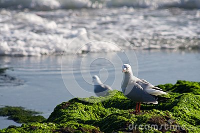Australian Seagull at Rocky Shoreline