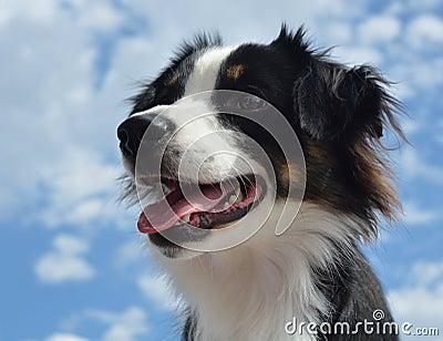 Australian Shepherd (Aussie) Dog