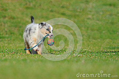 Australian Shepherd aussie puppy with toy