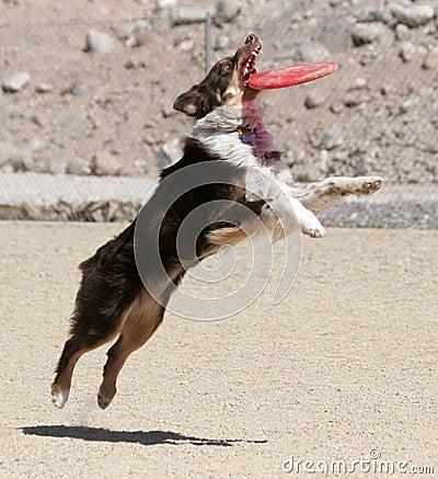 Australian Shepherd catching a disk