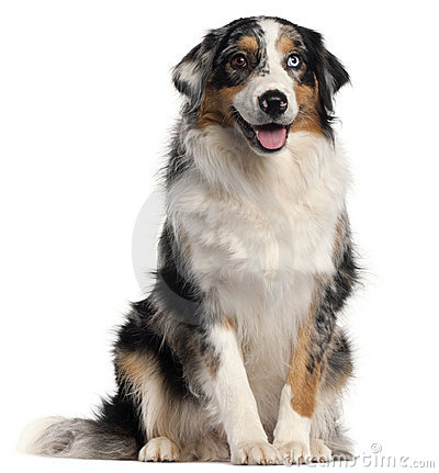 Australian Shepherd dog, 1 year old