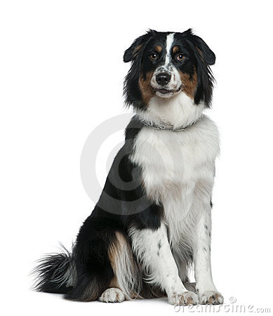 Australian Shepherd dog, 1 year old, sitting