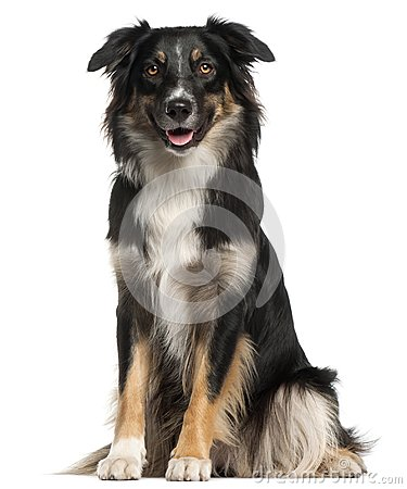 Free Australian Shepherd Dog, 1 Year Old, Sitting In Front Of White B Royalty Free Stock Photo - 103835385