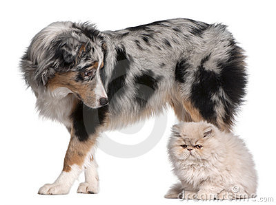 Australian Shepherd dog, 6 months old