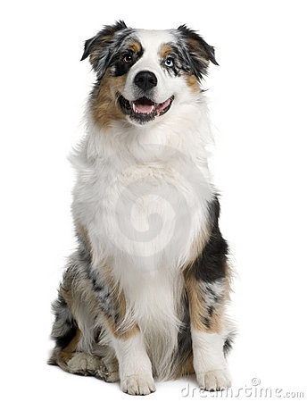 Australian Shepherd dog, 9 months old, sitting