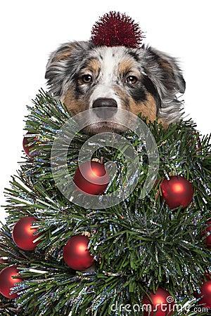 Stock Image: Australian Shepherd dog dressed as Christmas tree