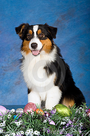 Australian Shepherd dog with easter eggs