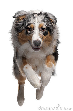 Australian Shepherd dog jumping