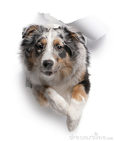 Australian Shepherd dog jumping out of white paper