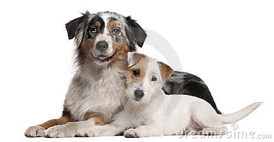 Australian Shepherd dog and Parson Russell Terrier