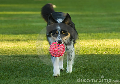 Australian Shepherd dog playing