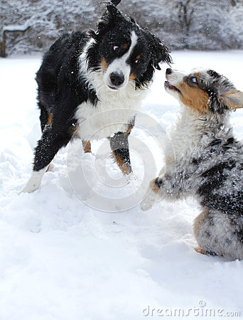 Australian shepherd dogs in snow