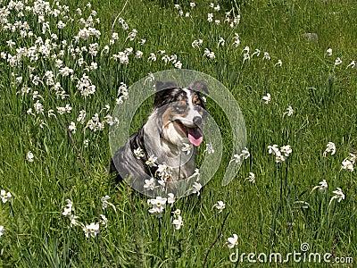 Australian Shepherd in Flowers