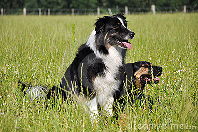 Australian Shepherd and mongrel