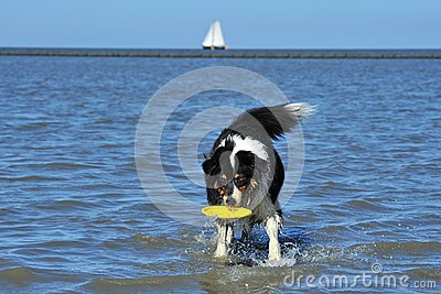 Australian Shepherd playing frisbee