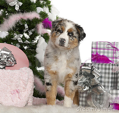 Royalty Free Stock Images: Australian Shepherd puppy, 2 months old